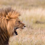 Portrait of a roaring male lion.